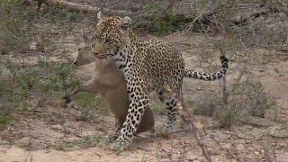 Download SafariLive Oct 09. Leopard Karula got a Duiker! Video