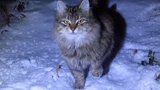 Download Fluffy cat walks on the snow and purrs Video