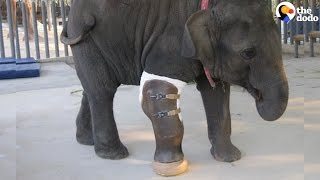 Download Elephant Gets A Prosthetic Leg | The Dodo Video