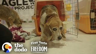 Download Beagle Who Spent Years In A Lab Cage Finally Gets A Family | The Dodo First Taste Of Freedom Video