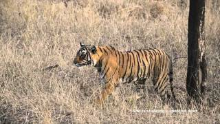 Download Tigress Jumps for the kill - Ranthambore forest Rajasthan Video