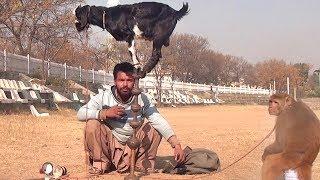 Download Bandar Aur Bakri Ka Khel - Funny Video | Comedy Video From My Phone Video