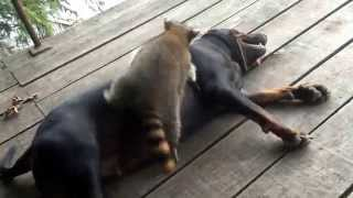 Download Coon dog rock and raccoon ringo playing... Video