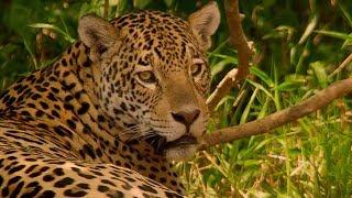 Download Jaguar Mating In Brazil - BBC Earth Video