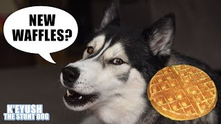 Download Demanding Husky NEEDS His Waffles | New Waffle Iron Video