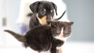 Download Kittens Meet Puppies For The First Time Video