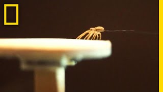 Download Spiders Spin Balloons to Fly Away | National Geographic Video
