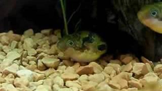 Download Dwarf Puffer 13 (Breeding behavior Part 1) Video