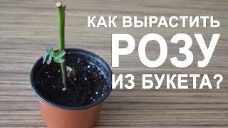 Download Как вырастить розу из букета в домашних условиях Video