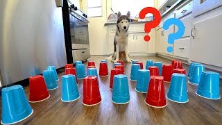 Download How Smart is My Husky? - Intelligence Test! Video