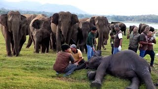 Download Elephants get rapid medical treatment for their sickness | lifesaving medical care for elephants Video