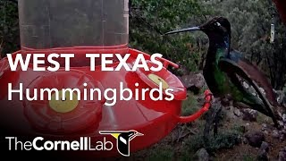 Download Incredible Hummingbird Diversity! West Texas Hummingbird Cam, Sponsored by Perky-Pet | Cornell Lab Video