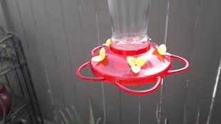 Download Bella Hummingbird Nest Cam 08-10-2018 10:47:40 - 11:47:40 Video