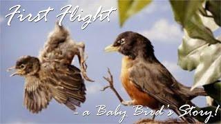 Download First Flight - a Baby Bird's Story! Video
