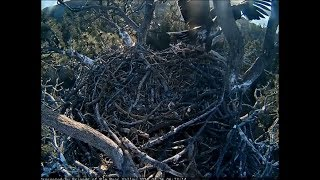 Download Big Bear Eagle Cam ~ Stormy Accidentally Falls From Nest 4.26.18 Video
