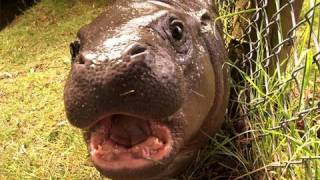 Download Get up close up to our baby pygmy hippo Video