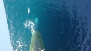 Download LHD Juan Carlos I, dolphin escorts Video