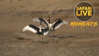 Download Saddle-billed Storks Show Us their Dance Moves Video