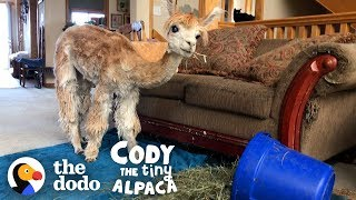 Download Meet The World's Smallest, Cutest, Most Spoiled Alpaca | Cody The Tiny Alpaca (Series Trailer) Video
