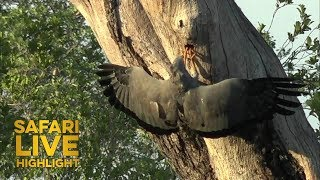 Download An African Harrier Hawk Finds What its Looking For Video