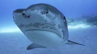 Download Tiger Shark - Gentle warriors from the Bahamas (4K-UHD) Video
