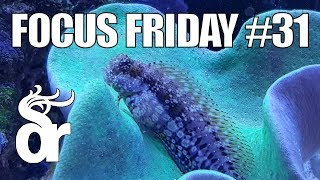 Download FF#31 | Keeping a Lawnmower Blenny (Salarias) in your Reef Tank Video