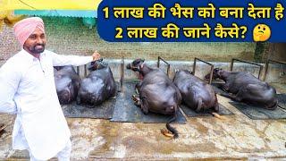 Download दूध नहीं भैंसों में मोटी कमाई|Rachheri Murrah Dairy Farm Ambala Haryana Video