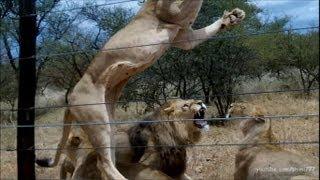 Download 50 Lions having Breakfast Video