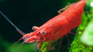 Download Livestock Lowdown: Red Cherry Shrimp Information and Care Video
