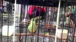 Download Pleci Dakun Merapi Gacor - Isian Glatik Wingko - Harga Jutaan Rupiah Video
