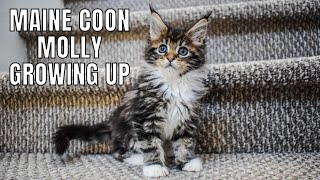 Download Maine Coon Molly Growing Up (2 Weeks - 1 Year) Video