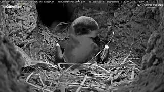 Download Cahow Buries Inviable Egg, Departs Cahow Cam 1 Nesting Burrow – March 20, 2019 Video