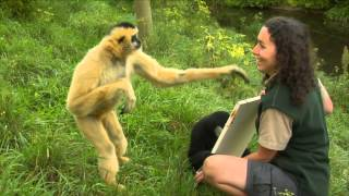 Download Conservation Connection: White Cheeked Gibbon Video