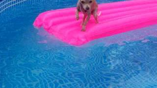 Download Swimming Chihuahua Video