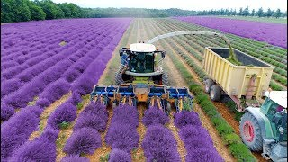 Download Lavender Harvest & Oil Distillation | Valensole - Provence - France 🇫🇷| large and small scale Video