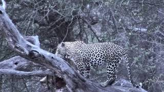 Download Djuma: Tingana feeding on carcass in dead tree-Pt:2 - 05:34 - 10/17/18 Video
