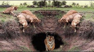 Download Lion vs Tiger vs Crocodile - Hyena vs Leopard vs Wild Dogs! Battles of the Strongest Wild Animals Video