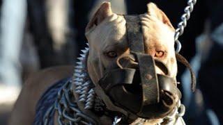 Download ये हैं 10 सबसे बड़ी नस्ल के कुत्ते | Top 10 Biggest Dog Breeds in the World Video
