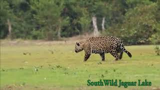 Download Big male Jaguar salivates over and stalks oblivious Tapir at Jaguar Lake Video