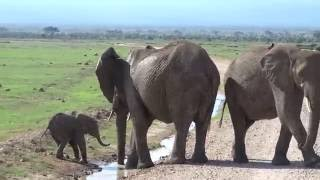 Download Too cute. This baby elephant is trying to cross the stream Video