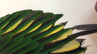 Download Correct way to trim parrot wing Video