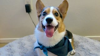 Download SPOILING MY CORGI DOG - Life After College: Ep. 422 Video