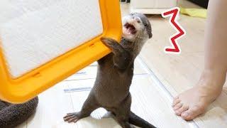 Download 【大切なもの】自分のトイレが奪われると勘違いするカワウソのビンゴ(Otter Bingo, calm down! we are not going to steal your potty) Video