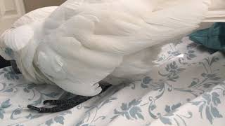 Download Cockatoo Sleeping Alone on theBed😍😍😍 Video