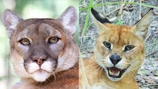 Download Cougar & Caracal/Serval Hybrid Rescued! - Sanctuary Closes Video