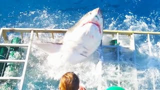 Download Great White Shark Cage Breach Accident Video