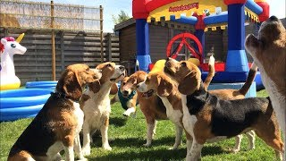 Download BEAGLE POOL AND BOUNCE HOUSE PARTY!! Invited all of his friends! Video