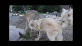 Download International Wolf Center - Making Progress 29 August 2016 Video