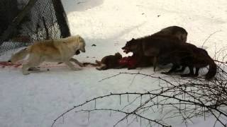 Download Timber Wolf Feeding Frenzy Video