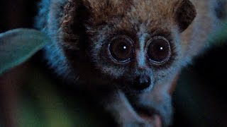 Download Slow loris internet celebrity - Super Cute Animals: Preview - BBC One Video